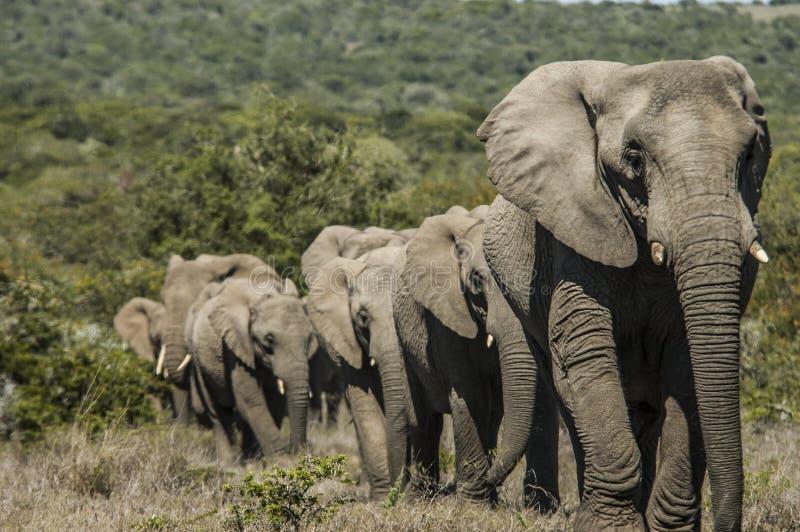 Rebanho grande dos elefantes que andam fora da vegetação grossa imagem de stock