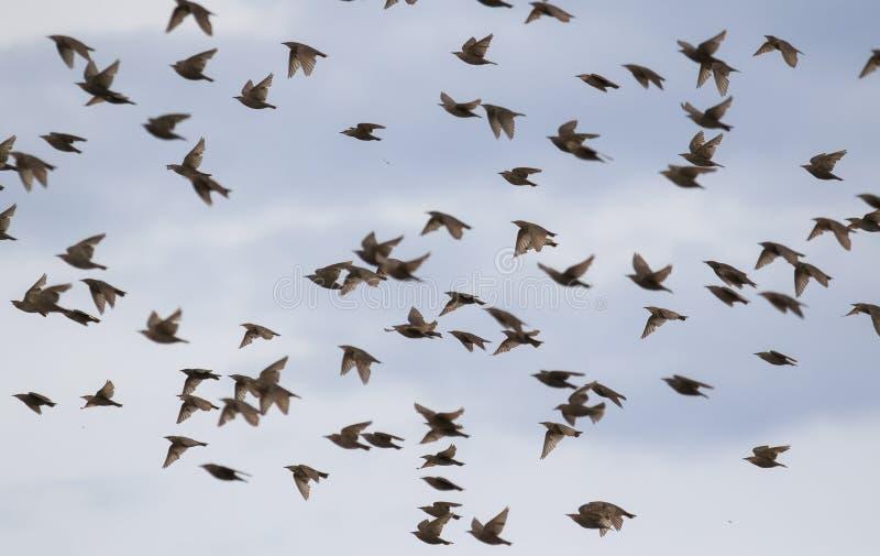 rebanho numeroso de pássaros heterogêneos dos estorninhos de penas e de asas da onda rapidamente e para voar contra o céu azul br fotografia de stock