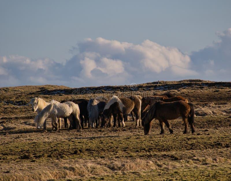 Rebanho pequeno com cavalos islandêses em um pasto fotos de stock