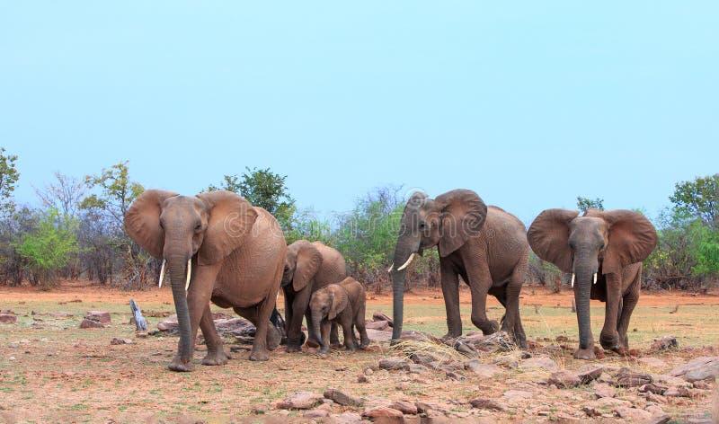 Rebanho pequeno da família de elefantes africanos no savana árido seco na linha costeira de lago Kariba, parque nacional de Matus fotos de stock