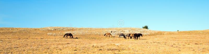 Rebanho pequeno de cavalos selvagens em Sykes Ridge na escala do cavalo selvagem das montanhas de Pryor em Montana EUA fotografia de stock