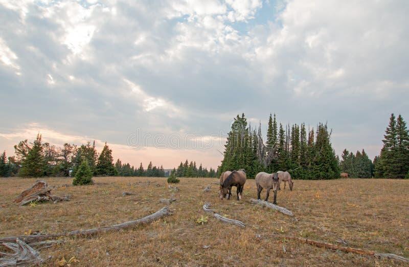 Rebanho pequeno dos cavalos selvagens que pastam ao lado dos logs da palha no por do sol na escala do cavalo selvagem das montanh imagens de stock