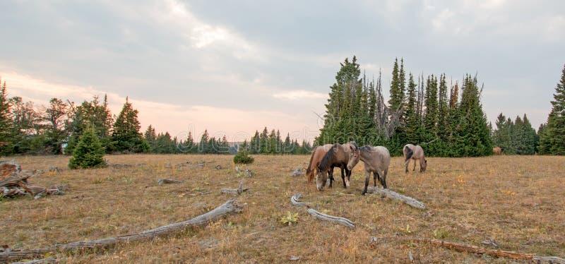Rebanho pequeno dos cavalos selvagens que pastam ao lado dos logs da palha no por do sol na escala do cavalo selvagem das montanh fotos de stock royalty free