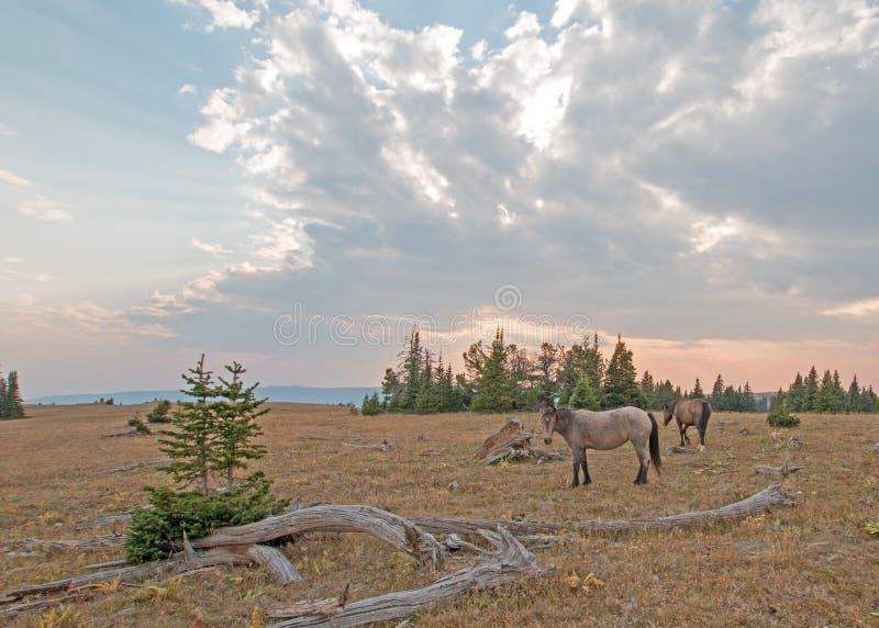 Rebanho pequeno dos cavalos selvagens que pastam ao lado dos logs da palha no por do sol na escala do cavalo selvagem das montanh fotos de stock