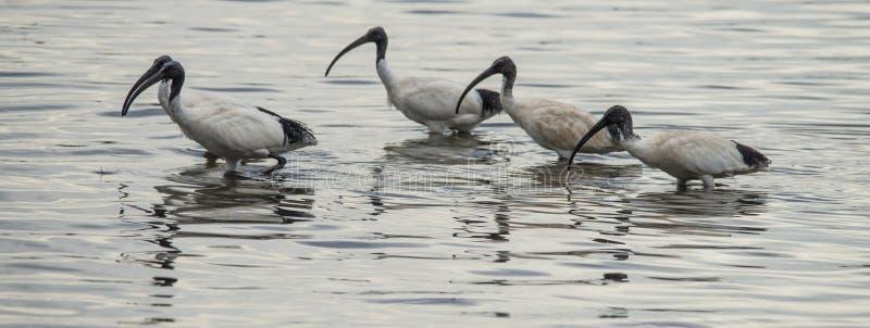 Rebanho preto e branco dos íbis que alimenta na água do mar fora da costa da ilha do canguru fotografia de stock