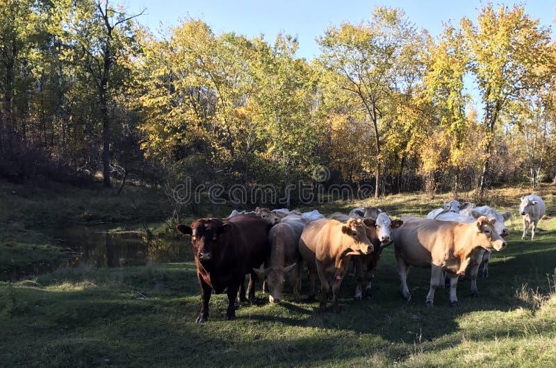 Rebanho satisfeito do gado que pasta ao longo de uma angra na queda fotografia de stock