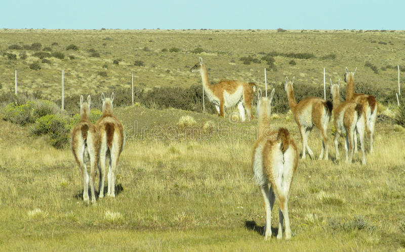 Rebanho selvagem do Guanaco nas pampas foto de stock royalty free