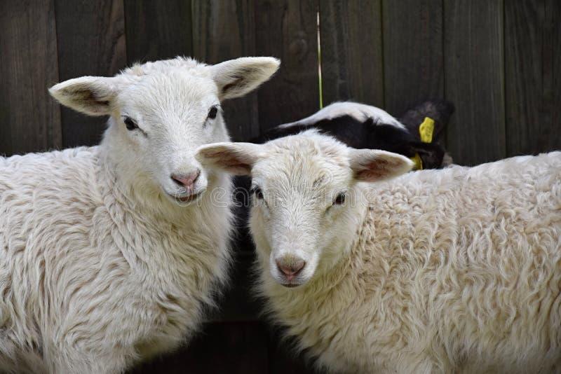 Rebanhos animais da família dos carneiros em uma exploração agrícola com cordeiros fotografia de stock royalty free