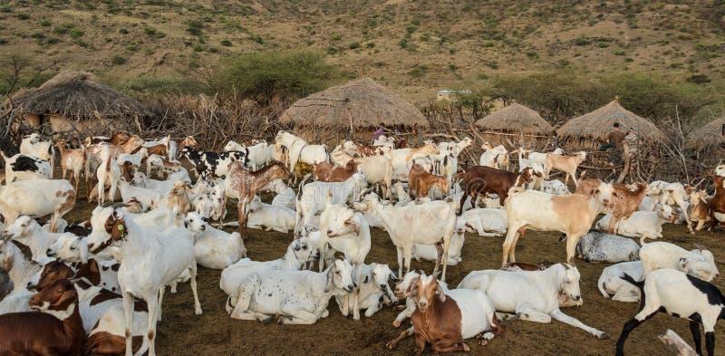 Rebanhos animais do tribo do maasai em África fotos de stock royalty free
