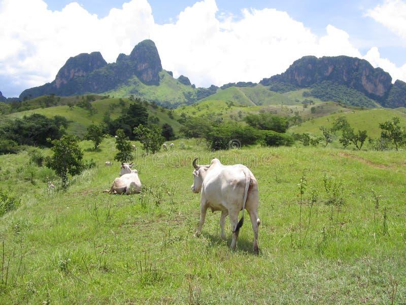 Rebanhos animais na Venezuela imagem de stock