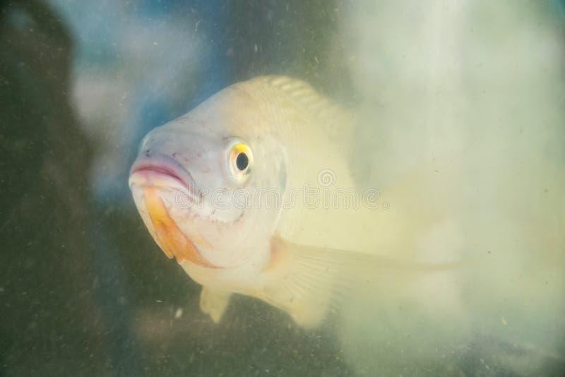 Rebanhos animais - produzindo peixes do Tilapia no aquário fotos de stock royalty free