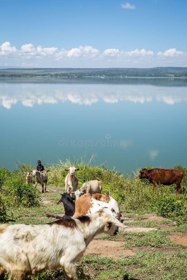 Rebanhos animais que comem pelo lago Elmenteita, Kenya imagens de stock royalty free