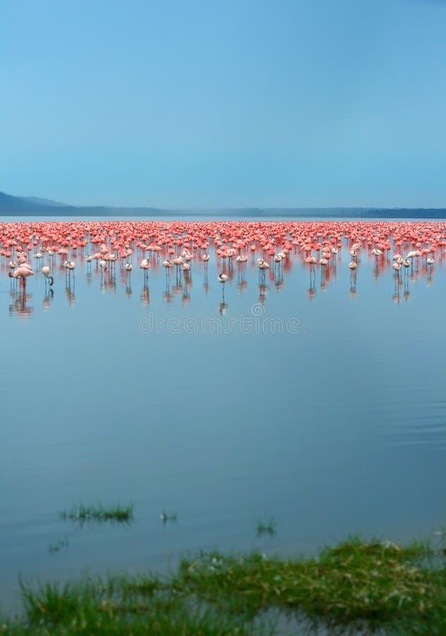 Download Rebanhos do flamingo imagem de stock. Imagem de flamingo - 10068339