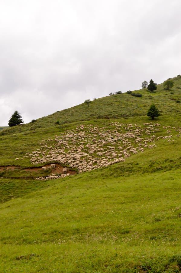 Rebanhos dos carneiros em um prado verde foto de stock