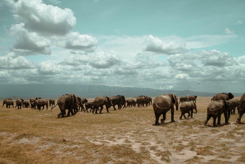 Rebanhos dos elefantes no parque nacional de Amboseli durante um safari imagens de stock