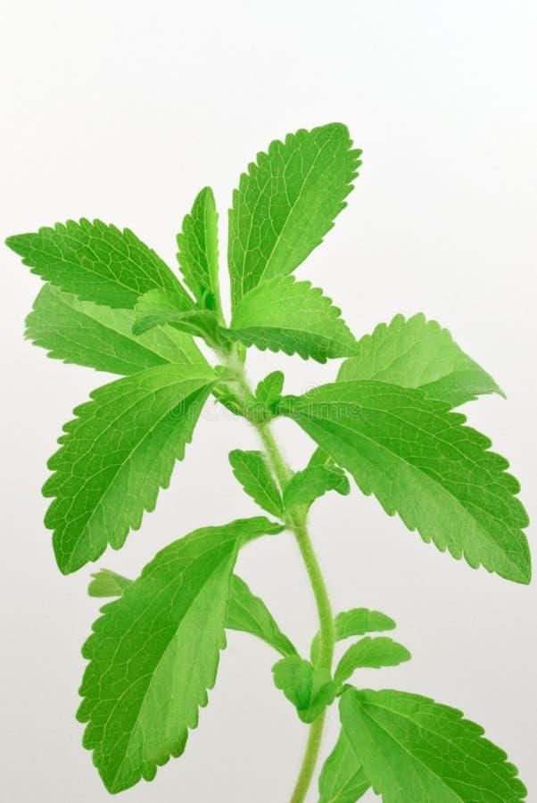 Rebaudiana del Stevia, con las hojas frescas, verdes fotografía de archivo libre de regalías