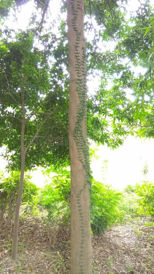 Rebe auf Baum lizenzfreies stockfoto