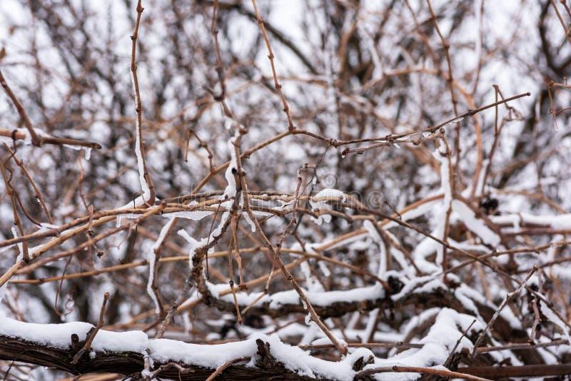 Rebe bedeckt mit einer Schicht weißem Schnee lizenzfreie stockbilder