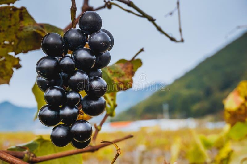 Rebe der blauen Traube auf einer Traubenplantage lizenzfreie stockfotografie