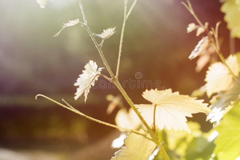 rebe Herbst Ernte-Blätter beleuchtet durch die Sonne Helle Abbildung lizenzfreies stockfoto