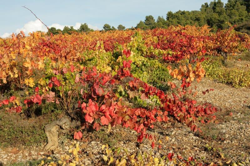 Rebe in Minervois, Frankreich stockbilder