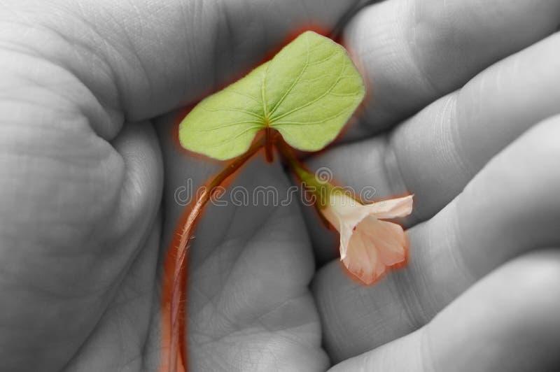 Rebe und Blume in meiner Hand stockbild