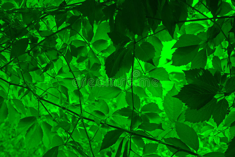 Rebe verlässt Grün lizenzfreie stockfotos