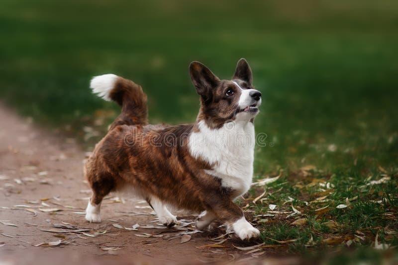 Rebeca adulta del corgi galés del perro que plantea el outdoore foto de archivo libre de regalías