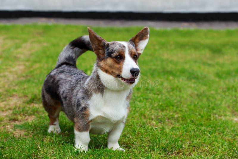 Rebeca del Corgi Gal?s de la raza del perro imagen de archivo