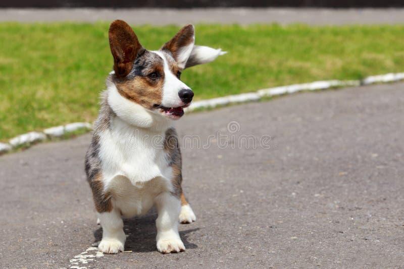 Rebeca del Corgi Gal?s de la raza del perro imagenes de archivo