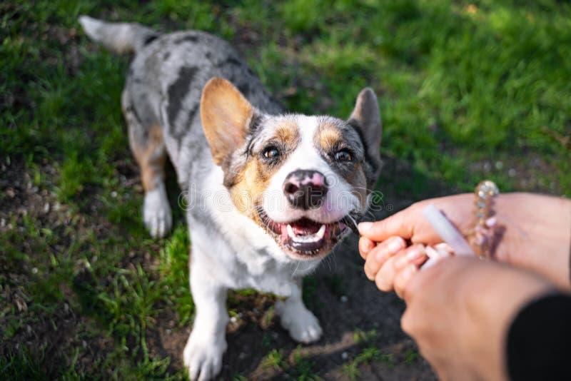 Rebeca feliz galés del pembroke que juega con su amo en el parque afuera fotos de archivo libres de regalías