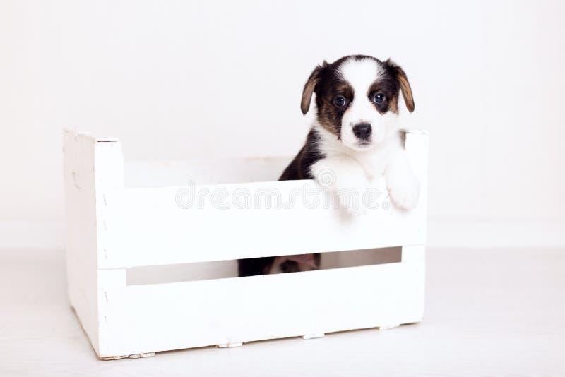 Rebeca recién nacida linda del corgi galés del perrito de Brown en de madera una caja en el fondo blanco Copie el espacio foto de archivo