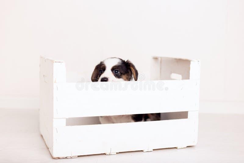Rebeca recién nacida linda del corgi galés del perrito de Brown en de madera una caja en el fondo blanco Copie el espacio imagen de archivo libre de regalías