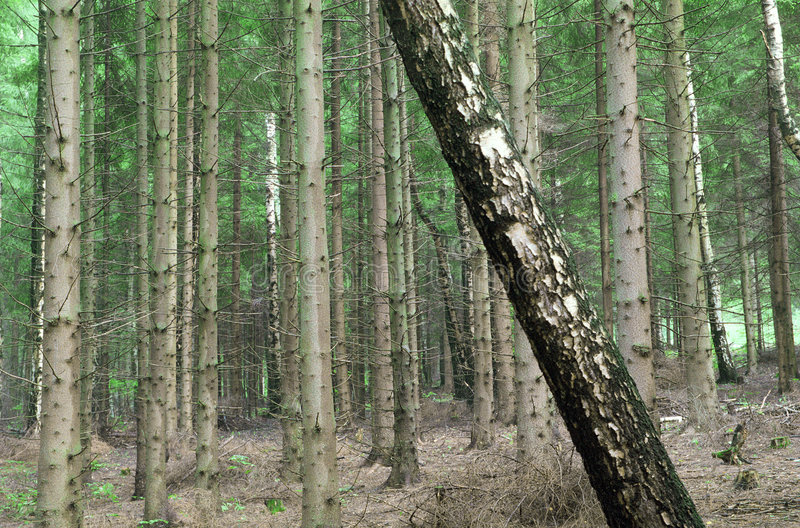 Download Rebel tree in a forest stock photo. Image of rebel, uniqueness - 106784