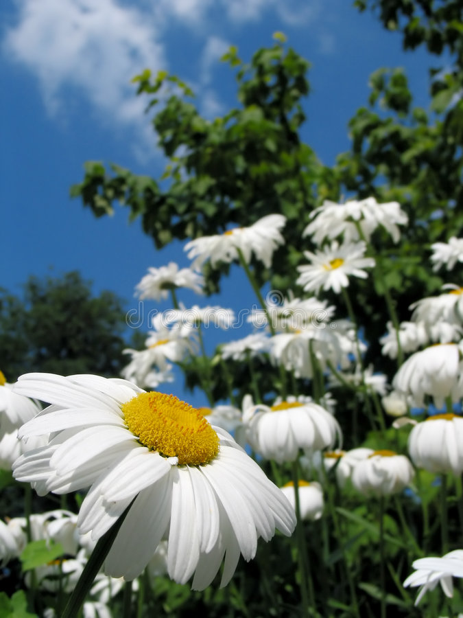 Download The Rebell Daisy! Stock Photography - Image: 180442