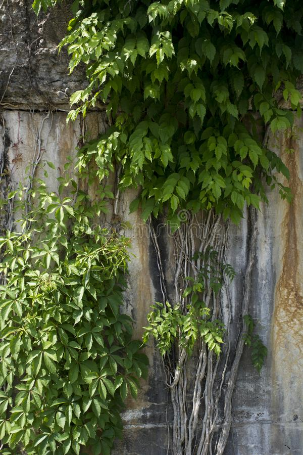 Reben, die auf Betonmauer wachsen lizenzfreies stockfoto