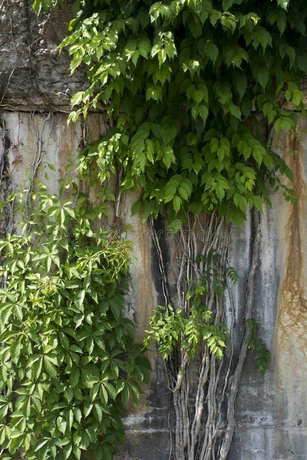 Reben, die auf Betonmauer wachsen stockfoto