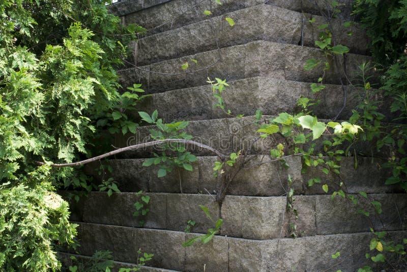 Reben, die auf Betonmauer wachsen lizenzfreie stockfotos