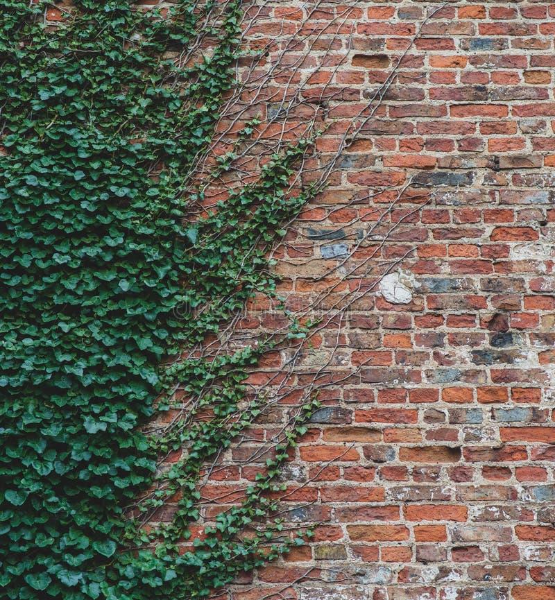 Reben klettern oben eine Backsteinmauer und bieten ein interessantes halbes Weisenmuster an stockbilder