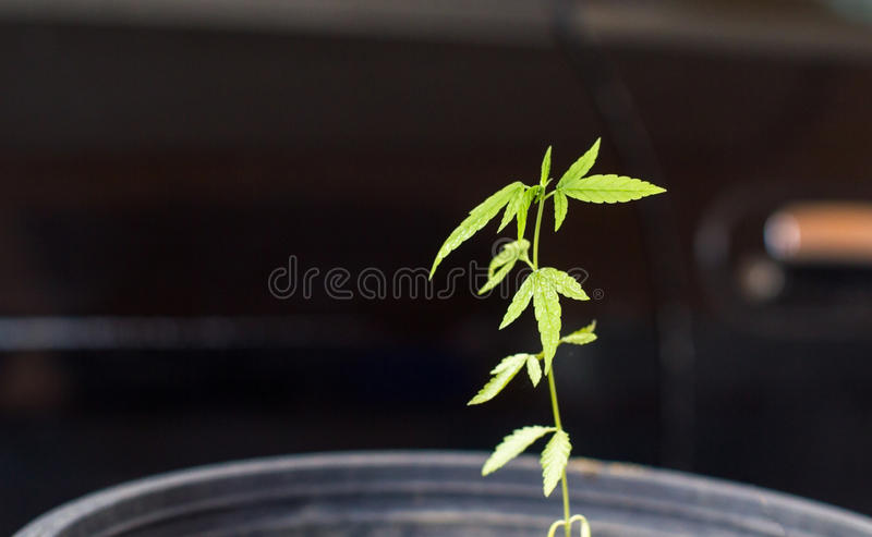 Rebento do cannabis que cresce no potenciômetro fotos de stock royalty free