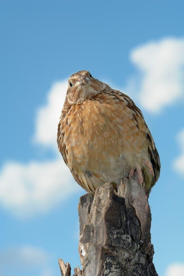 rebhuhn stockbild bild von vogel jung bauernhof vieh