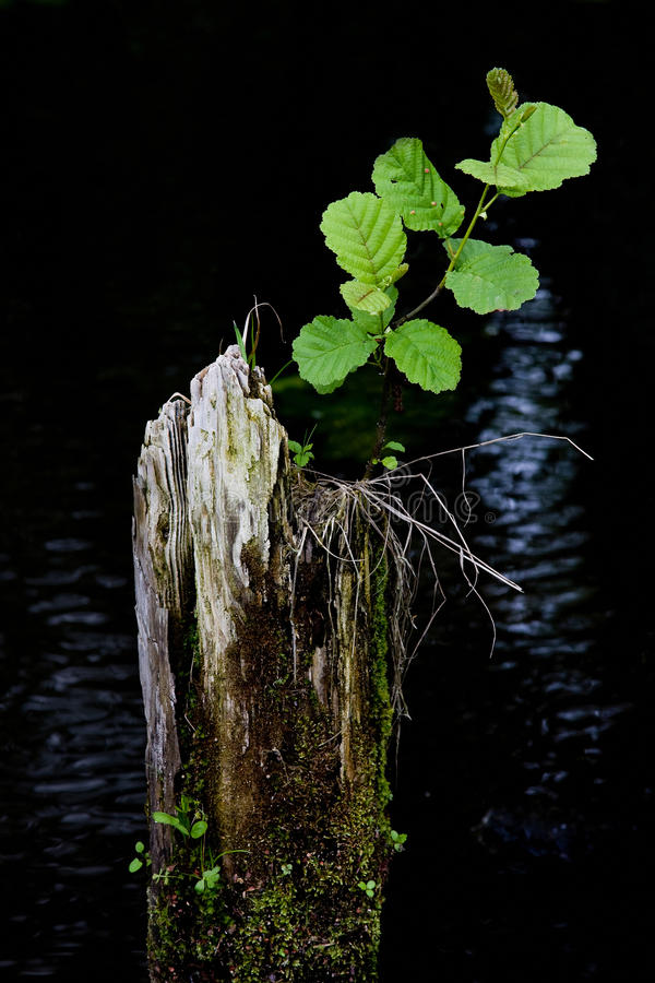 Rebirth. Rebirth of small plant on dead wood royalty free stock image