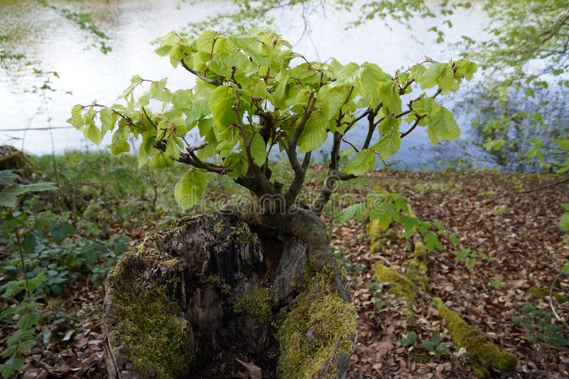 Rebirth of tree beech growing on stump. Road trip in may rebirth of tree beech growing on stump stock image