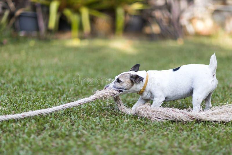 Reboque branco saudável e feliz dos jogos do cão com brinquedo da corda imagem de stock