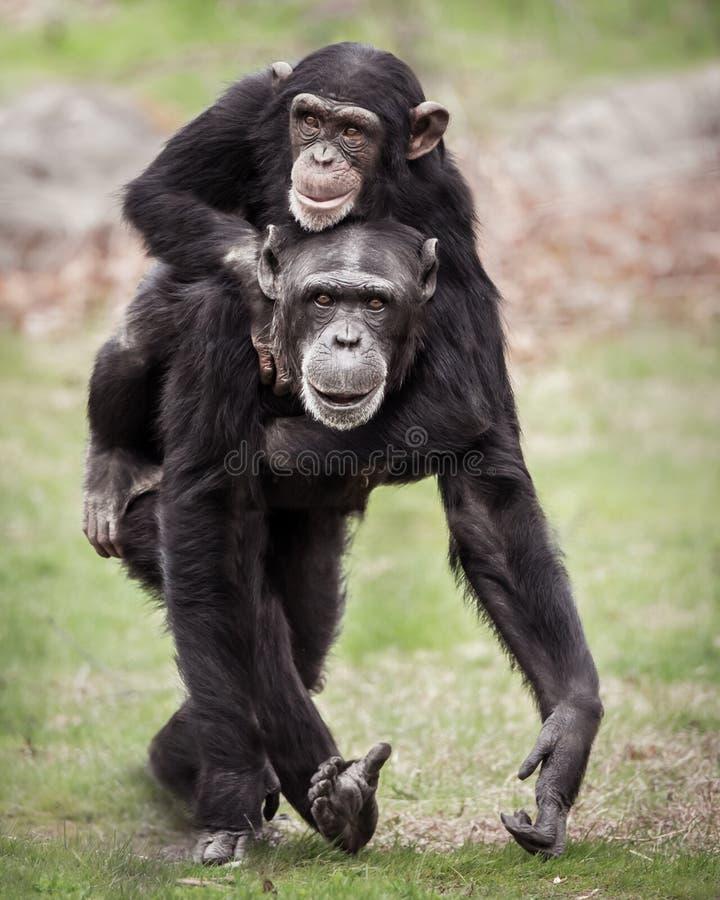 Reboque II do chimpanzé imagem de stock