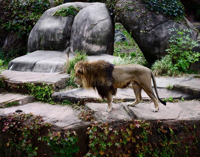 Rebord de Lion Peering Over A de mâle images stock