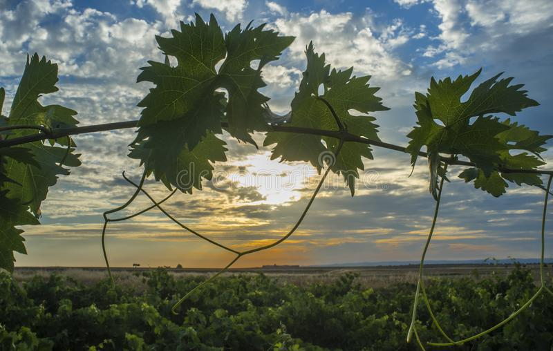 Rebplantage unter Juni-Sonnenunterganglicht und bewölktem blauem Himmel lizenzfreie stockfotografie