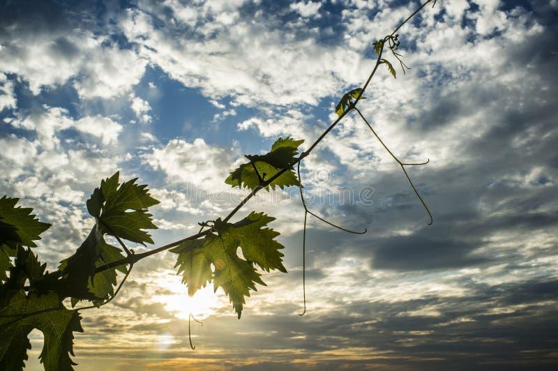 Rebplantage unter Juni-Sonnenunterganglicht und bewölktem blauem Himmel stockfotografie
