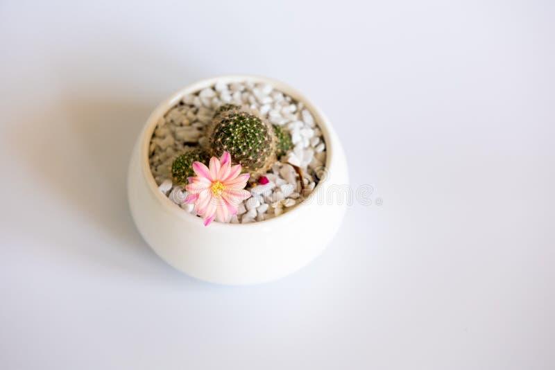 Rebutia kaktus z kwiatem w białym garnku obraz stock