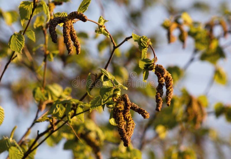 In recent April, verschenen de nieuwe bladeren en de oorringen op de elsboom stock afbeeldingen